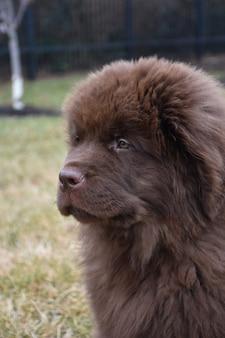 Slaperige jonge bruine newfoundland-pup met hangende ogen