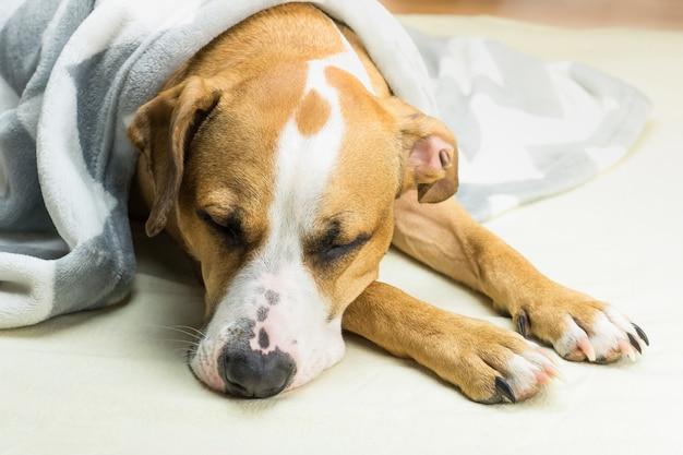 Slaperige staffordshire terriër hond bedekt met plaid rust binnenshuis in opgeruimd minimalistisch bed