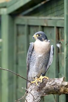 Slechtvalk (falco perigrinus)