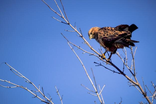 Slechtvalk zittend op een kale tak van een grote struik tegen een blauwe hemel en kijken naar de camera