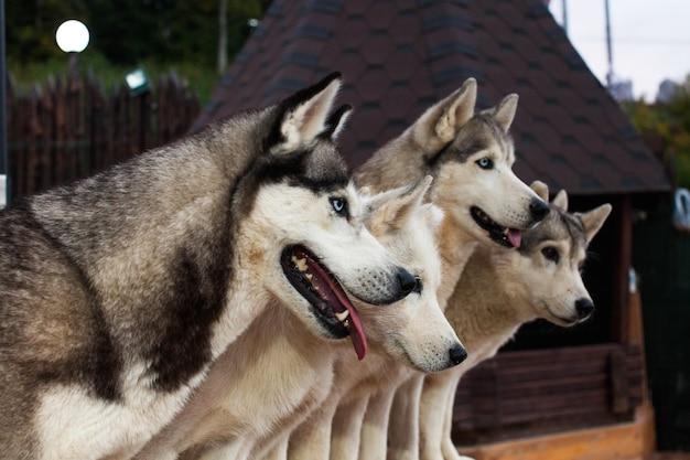 Sledehond husky zit omringd door andere honden