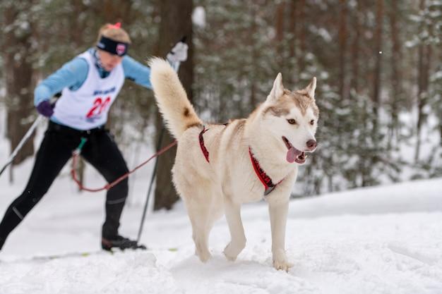 Sledehond skijoring. husky sledehond pull dog driver. sport kampioenschap competitie.