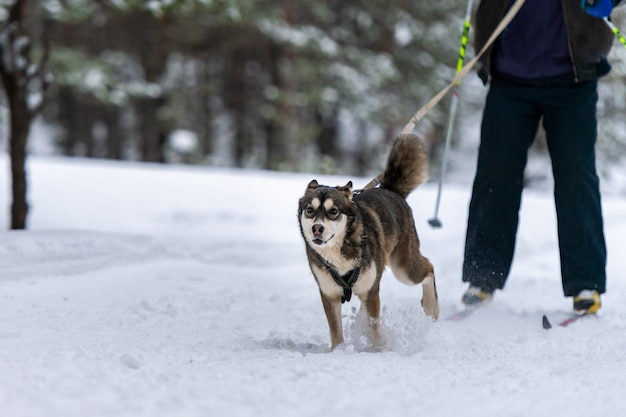 Sledehond skijoring. husky sledehond pull dog musher. sport kampioenschap competitie.