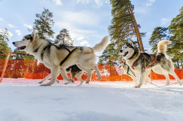 Sledehonden race competitie. siberische husky honden in harnas