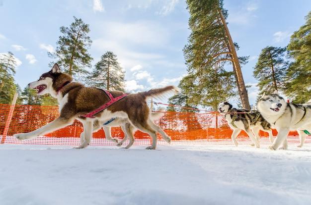 Sledehonden race competitie