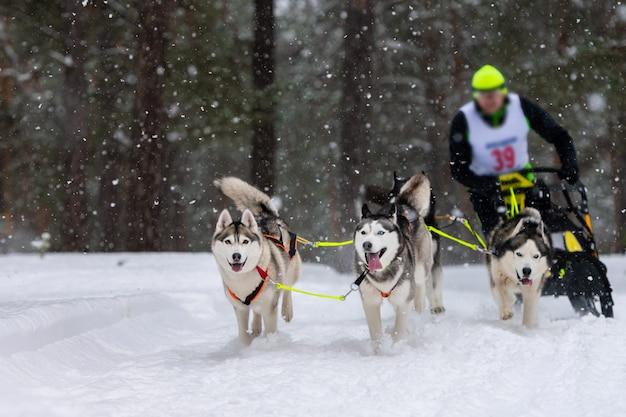 Sledehonden racen. husky sledehonden team trekt een slee met honden musher. winter competitie.