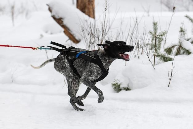 Sledehonden racen. wijzer sledehond in harnas rennen en hondenbestuurder trekken. wintersport kampioenschap competitie.