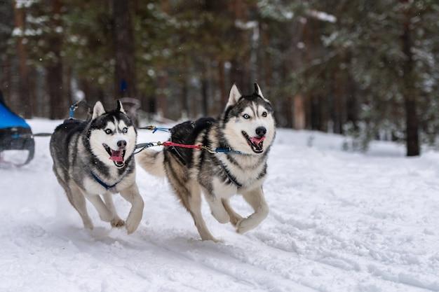 Sledehonden racen