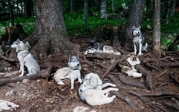 Sledehonden schor staan stil onder een boom.