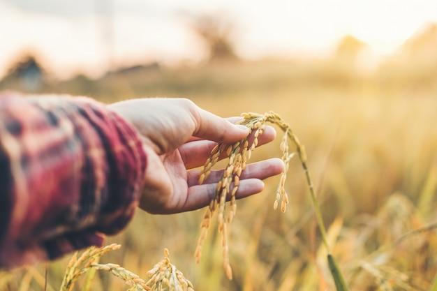 Slimme landbouw en biologische landbouw vrouw die de ontwikkeling van rijstvariëteiten bestudeert