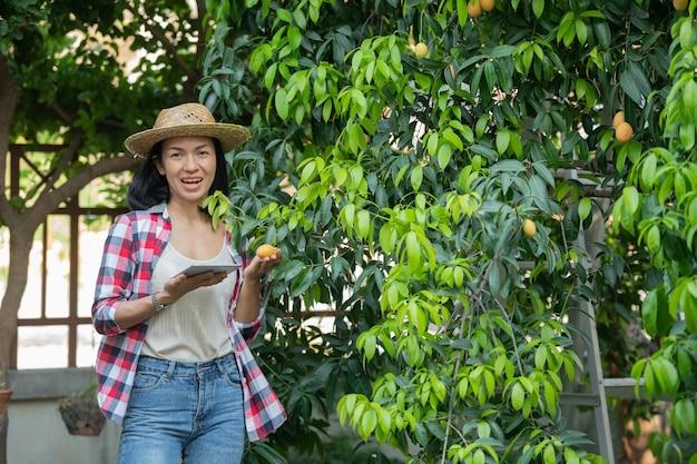 Slimme landbouw met behulp van moderne technologieën in de landbouw. boerin met digitale tabletcomputer, telefoon in boerderij marian pruim met apps en internet, marian pruim, marian mango. (mayongchid in thai) Premium Foto