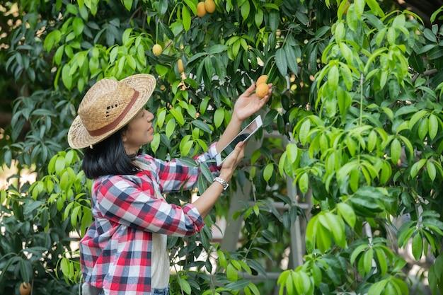 Slimme landbouw met behulp van moderne technologieën in de landbouw. boerin met digitale tabletcomputer, telefoon in boerderij marian pruim met apps en internet, marian pruim, marian mango. (mayongchid in thai)