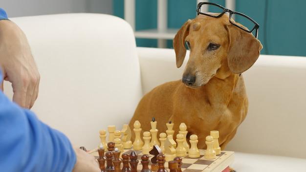 Slimme teckel met bril speelt schaakgetrainde hond