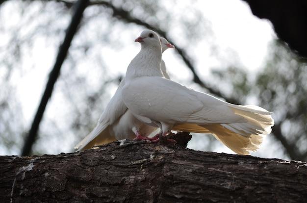 Sluit aan het eind van de middag een mooi paar duiven samen op een tak