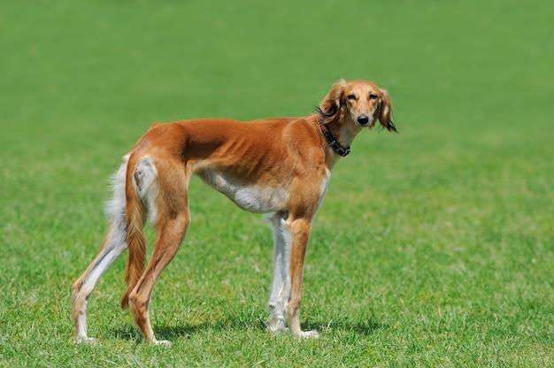Sluit bruine borzoi-hond in groen de zomergras