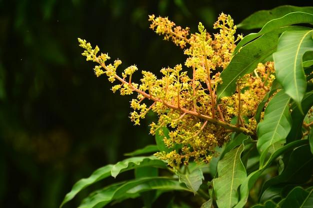 Sluit de mango-bloemen