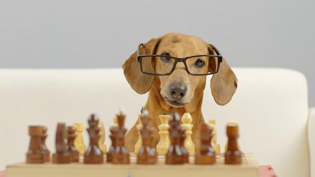 Sluit de snuit van de slimme teckel met een bril die een schaakgetrainde hond speelt