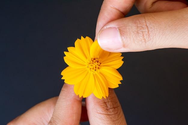 Sluit de tranen van de vrouwenhand van bloemblaadjes van gele madeliefjebloem op zwarte achtergrond