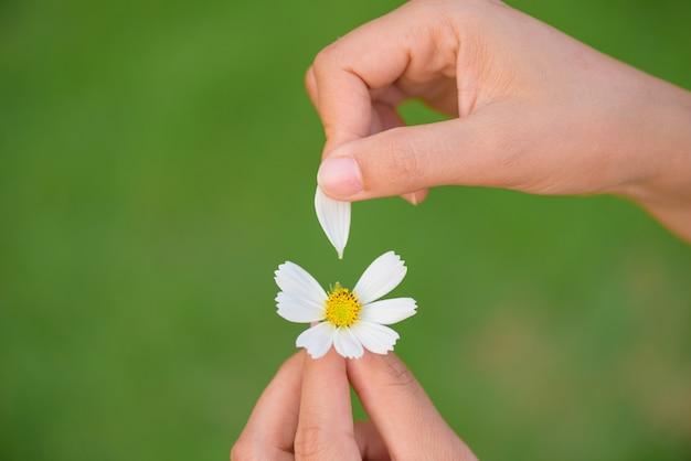 Sluit de tranen van de vrouwenhand van bloemblaadjes van madeliefjebloem omhoog