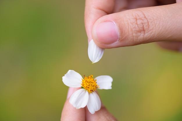 Sluit de tranen van de vrouwenhand van bloemblaadjes van madeliefjebloem omhoog.