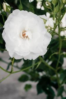Sluit gardenia in de tuin omhoog