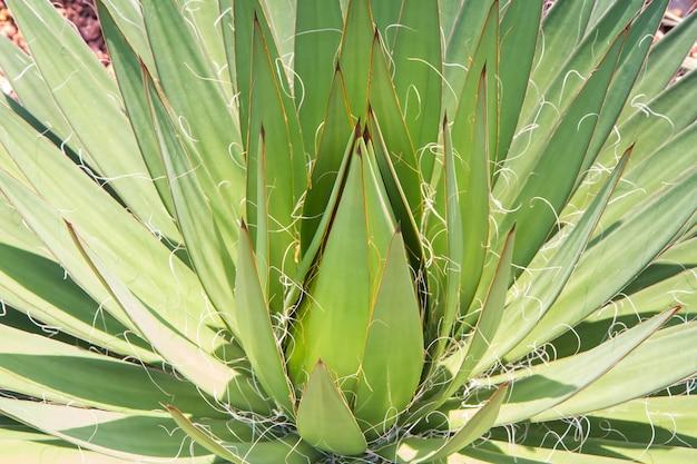 Sluit groene agave