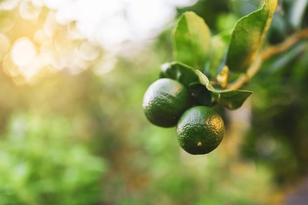 Sluit groene kalk en verlaat in de tuin met exemplaar ruimte, populair fruit of plantaardig concept.