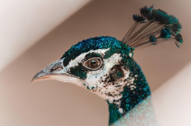 Sluit het hoofd van peacock. grijs. linker uitzicht