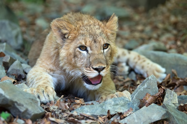 Sluit jonge leeuwenwelp in het wild