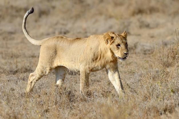 Sluit leeuw in nationaal park van kenia, afrika