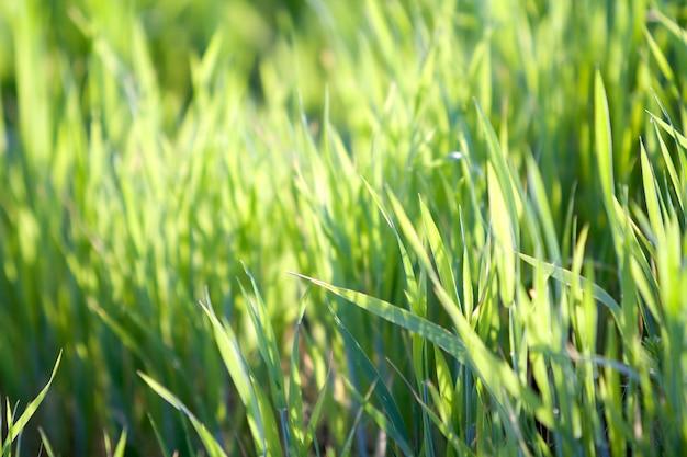 Sluit macro omhoog abstract beeld van heldere verse schone lichtgroene grasbladen groeiend op vage groene bokeh grasrijke achtergrond op zonnige de lente of de zomerdag. schoonheid van natuurlijke omgeving concept.