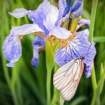 Sluit omhoog beeld van een vlinder op een purpere irisbloem
