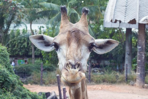 Sluit omhoog beeld van het gezicht van de grappige giraf