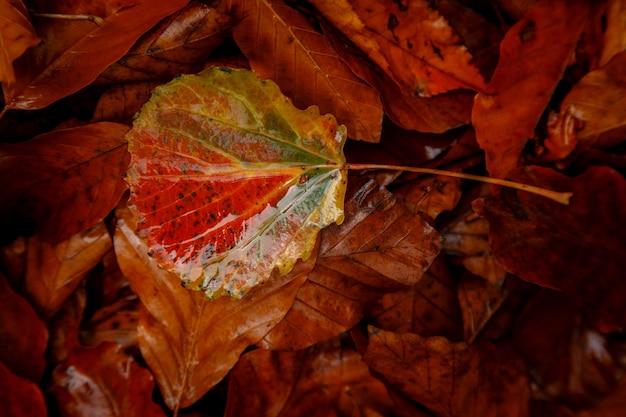 Sluit omhoog beeld van oranje de herfstbladeren bij zacht gouden licht.