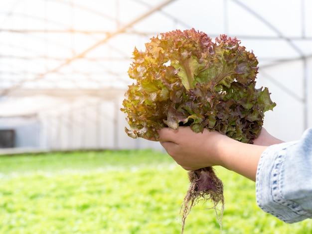 Sluit omhoog bij handen houdend organische groenten bij hydroponic serre. oogsten van hydrocultuur groenten.