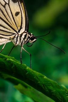 Sluit omhoog bleek gekleurde vlinder