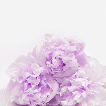 Sluit omhoog bloemblaadjes van pioenen. natuurlijke bloemrijke, lila gekleurde bloemen.