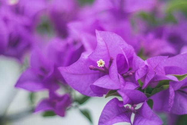 Sluit omhoog bougainvillea levendige kleur en onscherpe achtergrond