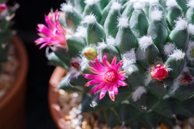 Sluit omhoog cactusbloem die in de tuin bloeien