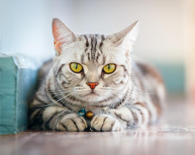 Sluit omhoog de amerikaanse korte slaap van de haarkat op de vloer in het huis.
