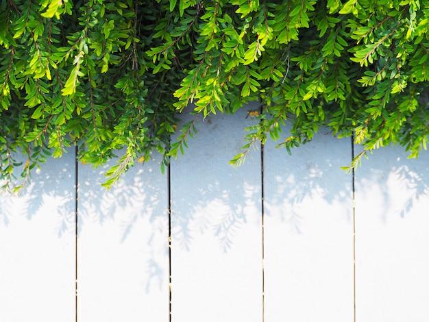 Sluit omhoog de groene bladeren van de klimplantinstallatie op wit uitstekend hout.