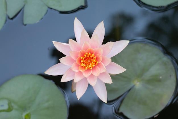 Sluit omhoog de roze bloem van de lotusbloemwaterlelie.