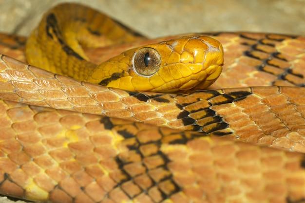 Sluit omhoog de slang van het de kattenoog van de hondtand in thailand