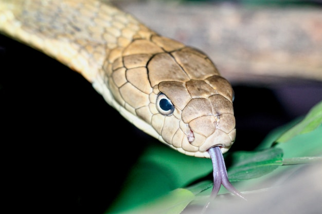 Sluit omhoog de slang van koningscroba