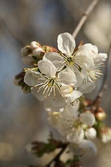 Sluit omhoog de witte boom van de kersenbloesem in het voorjaar