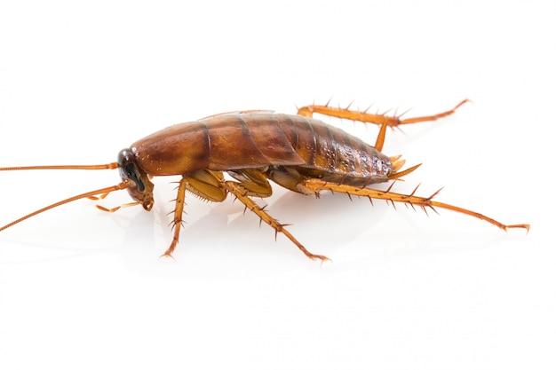 Sluit omhoog dode kakkerlak op wit