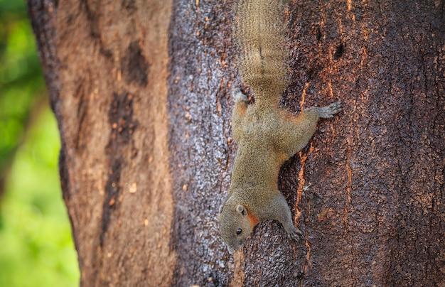Sluit omhoog eekhoorn etend geel mangofruit op boom