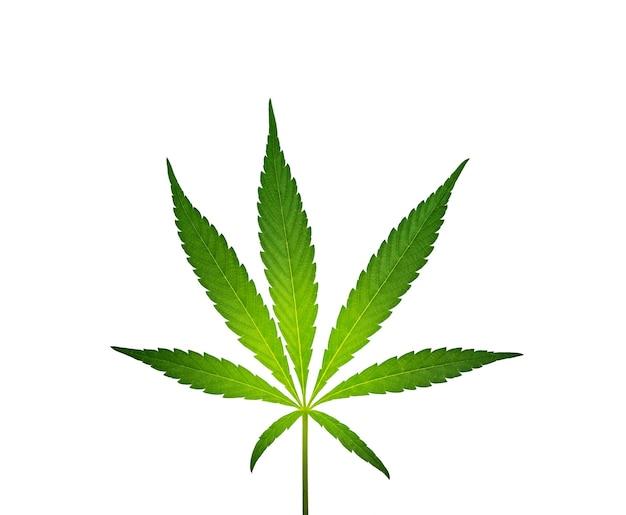 Sluit omhoog één vers groen cannabisblad dat op witte achtergrond wordt geïsoleerd