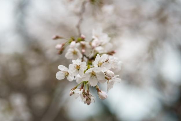 Sluit omhoog foto van sakura-bloem of japanse kersenbloesem op boomtakken. lente bloemen.
