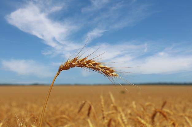 Sluit omhoog gebied van rijpe tarwe of roggeoren onder duidelijke blauwe hemel, lage hoekmening